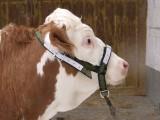 Stabiler Kuhhalfter für Rinder und Jungbullen